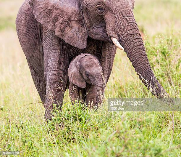 African Elephant and baby: grazing
