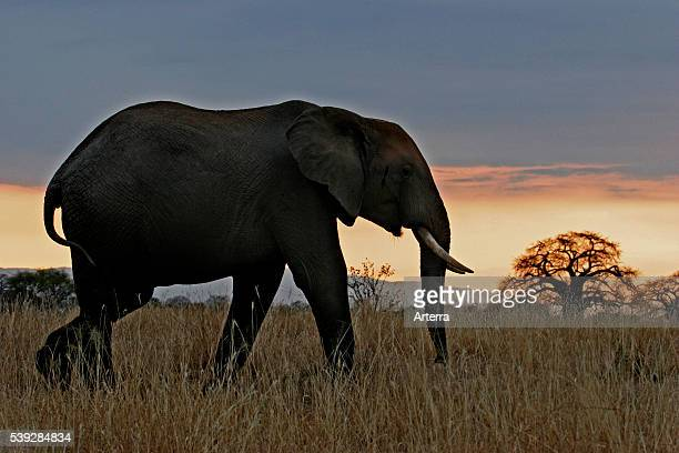 African elephant and baobab tree at sunset in the Tarangire National Park Tanzania East Africa