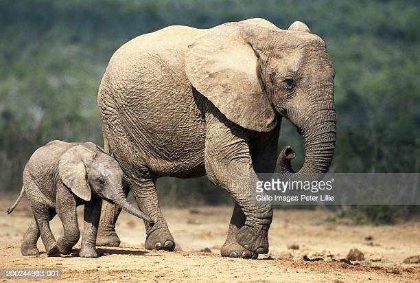 African elephant (Loxodonta africana)and calf on plain