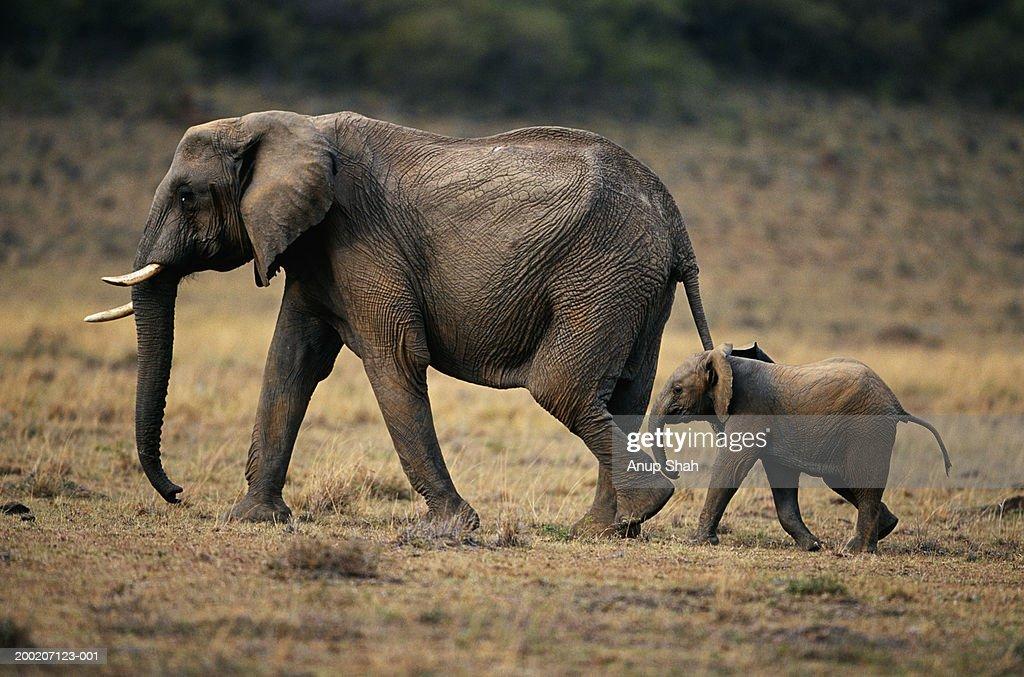 African elephant (Loxodonta africana) and calf walking, Masai Mara N.R, Kenya : Stock Photo