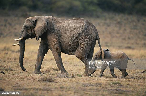 african elephant (loxodonta africana) and calf walking, masai mara n.r, kenya - elephant stock pictures, royalty-free photos & images