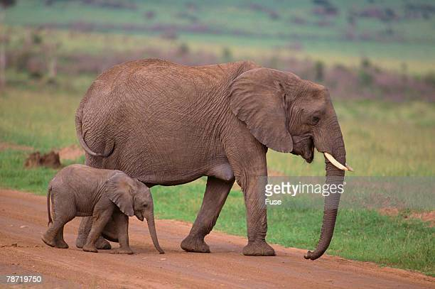 African Elephant and Calf Walking on Road