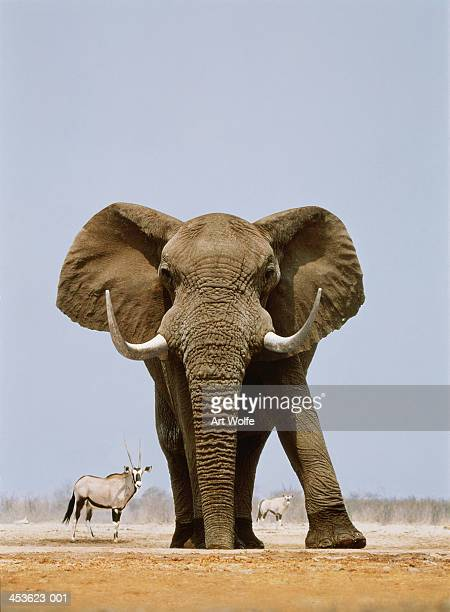 African elephant and gemsboks, Namibia (Digital Composite)