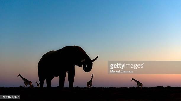 African Elephant (Loxodonta Africana) and Giraffes (Giraffa Camelopardalis) at sunset at a waterhole in Etosha National Park, Namibia