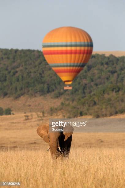 African Elephant and hot air balloon Masai Mara game reserve Kenya