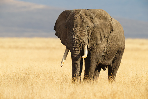 African Elephant and the Ngorongoro Savanna in Tanzania 620379788