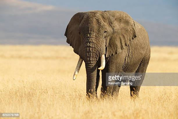 african elephant and the ngorongoro savanna in tanzania - um animal - fotografias e filmes do acervo