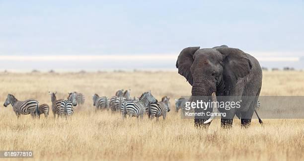 African Elephant and Zebra herd in Ngorongoro Crater, Tanzania Africa