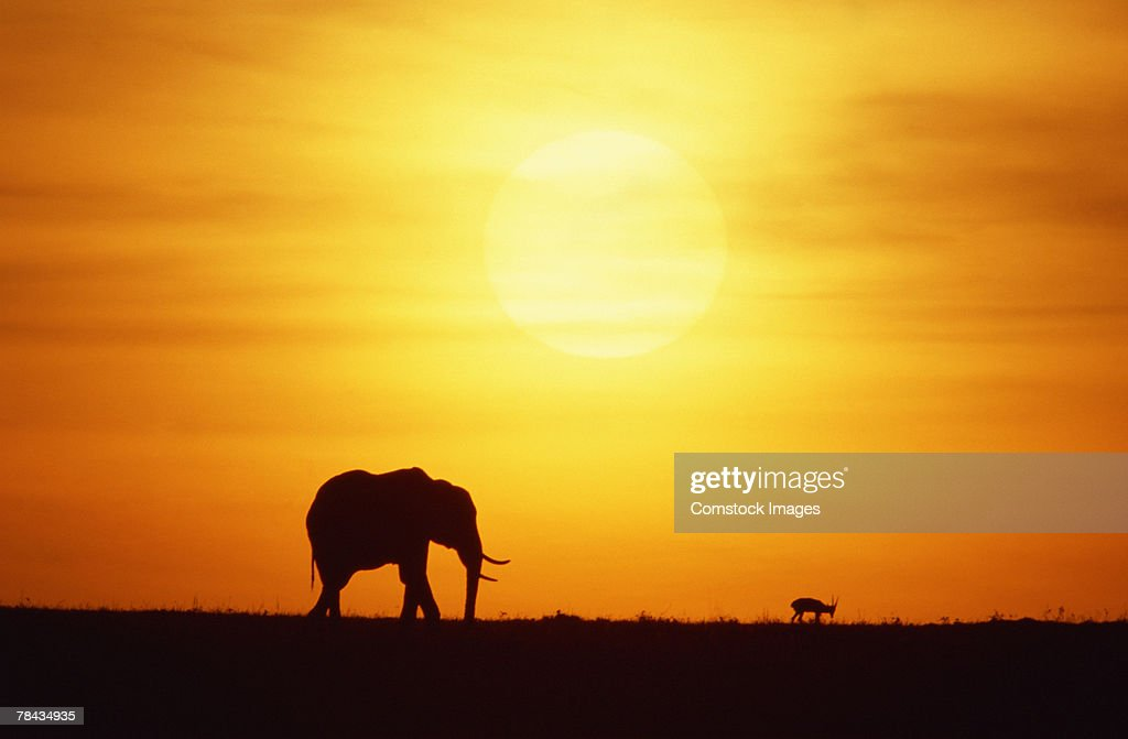 African elephant at sunset , Kenya , Africa : Stockfoto