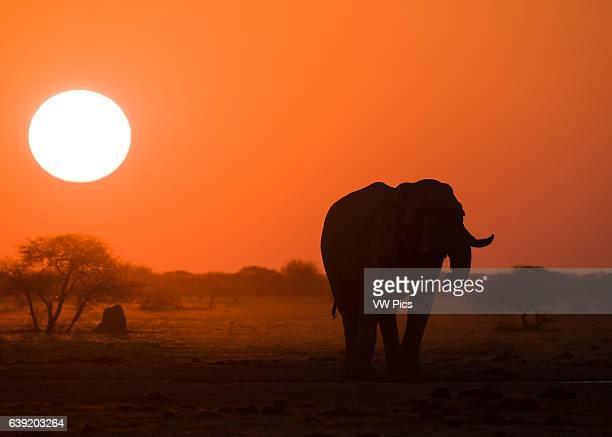 African Elephant at sunset Nxai pan