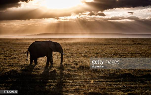 african elephant at sunset. - mammal stock pictures, royalty-free photos & images