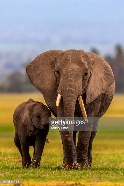 african elephant baby suckles mother - baby elephant stock photos and pictures