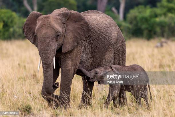 African elephant baby suckling grazing mother.