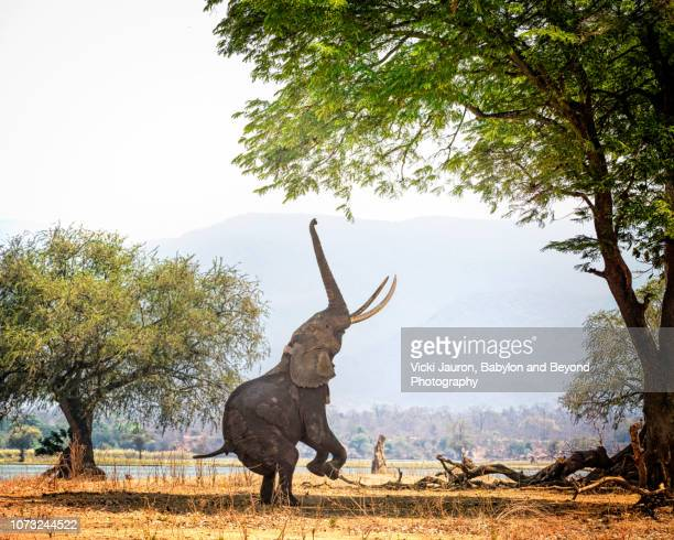 african elephant boswell on two feet at mana pools, zimbabwe - zimbabwe stock pictures, royalty-free photos & images