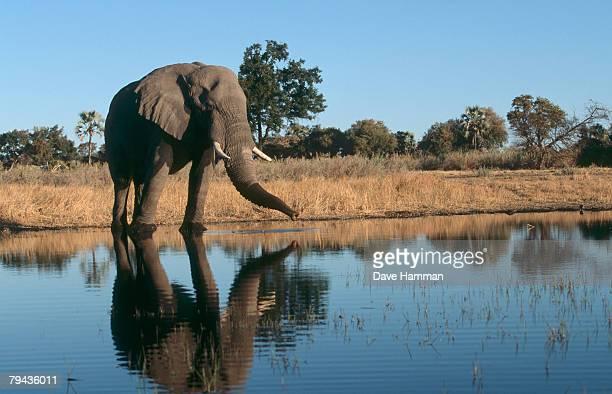 african elephant (loxodonta?africana) bull drinking from a waterhole. okavango delta, botswana, africa - waterhole stock pictures, royalty-free photos & images