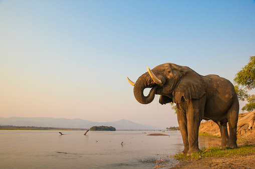 African Elephant bull drinking on the Zambezi river 496997908