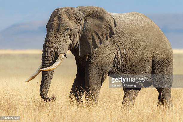 African Elephant Bull in the Ngorongoro Savanna, Tanzania Africa