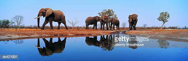 african elephant bulls (loxodonta africana) - waterhole stock pictures, royalty-free photos & images