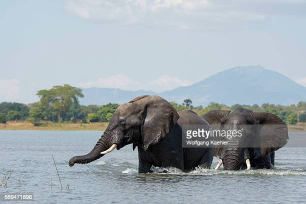 African elephant bulls playing in the water of the Shire River in Liwonde National Park Malawi