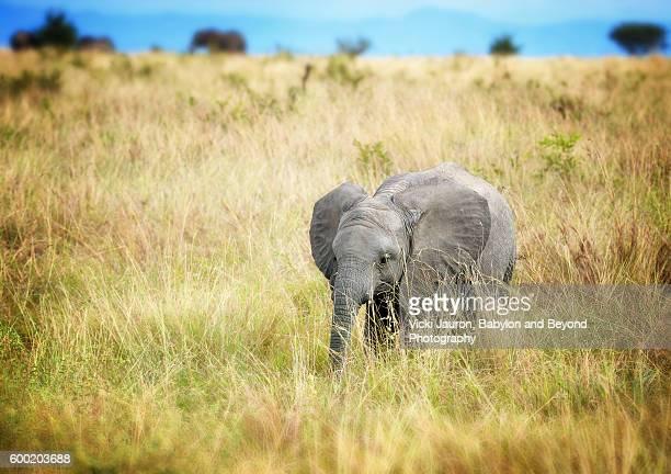 African Elephant Calf in Tarangire National Park, Tanzania