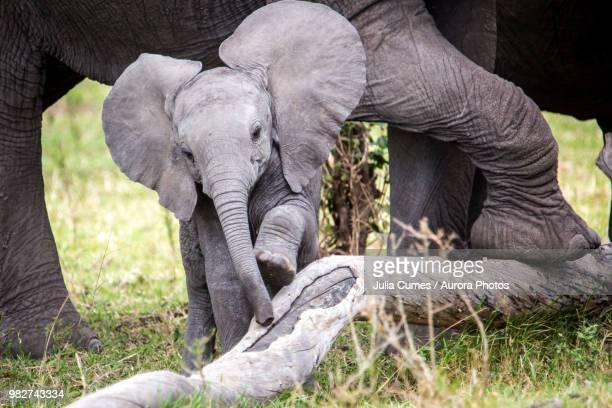 african elephant (loxodonta africana) calf, masai mara national reserve, kenya - baby elephant stock photos and pictures