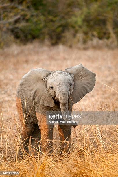 african elephant calf - baby elephant stock photos and pictures