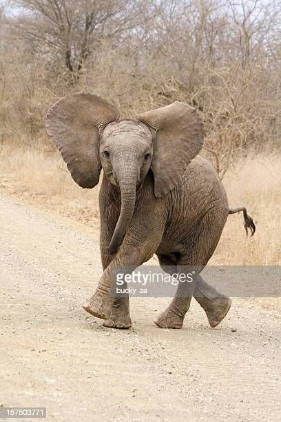 african elephant calf playing on a road - baby elephant stock photos and pictures