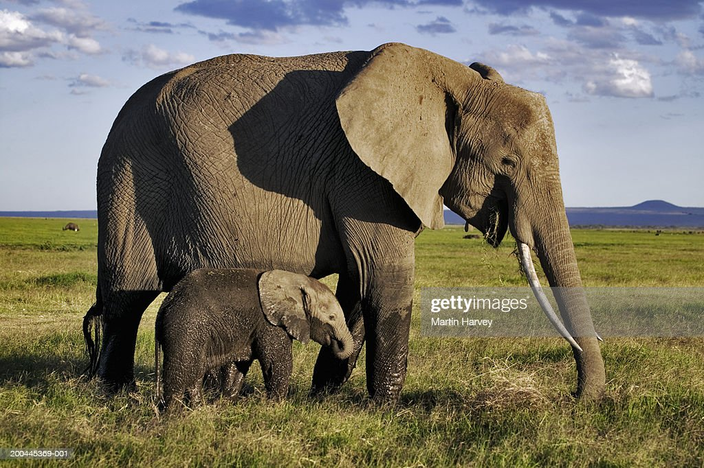 African elephant (Loxodonta africana) calf walking alongside adult : Stock Photo