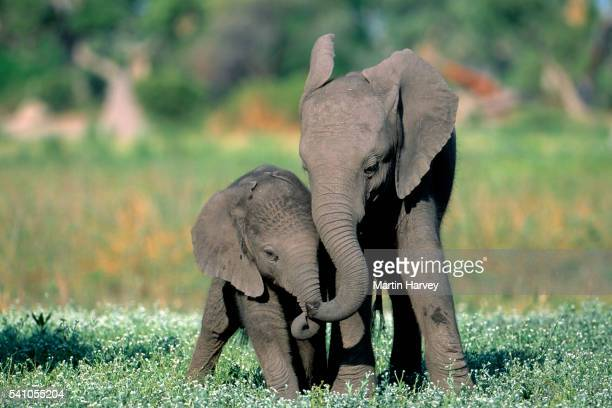 african elephant calves playing.okovango delta, botswana - young animal stock pictures, royalty-free photos & images
