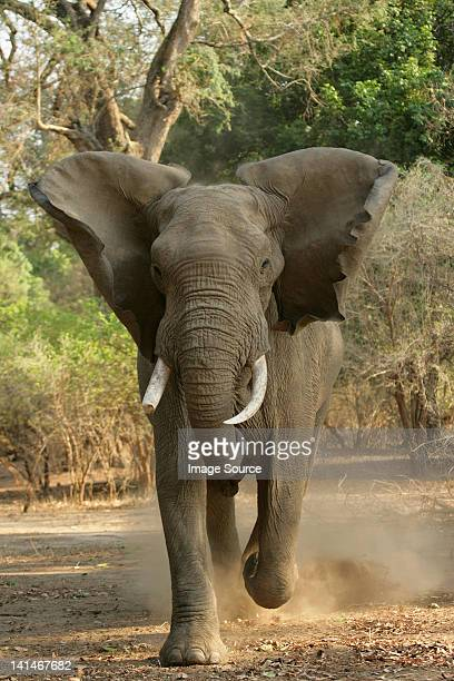african elephant charging, front view - charging sports stock photos and pictures