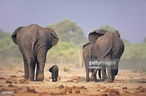 African Elephant (Loxodonta africana) Chobe National Park, Botswana, Africa