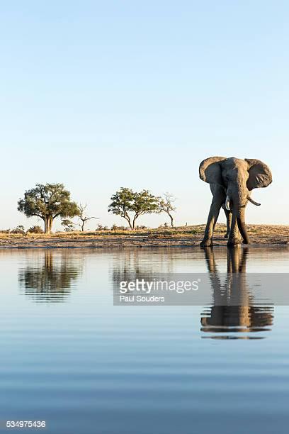 african elephant, chobe national park, botswana - botswana stock pictures, royalty-free photos & images