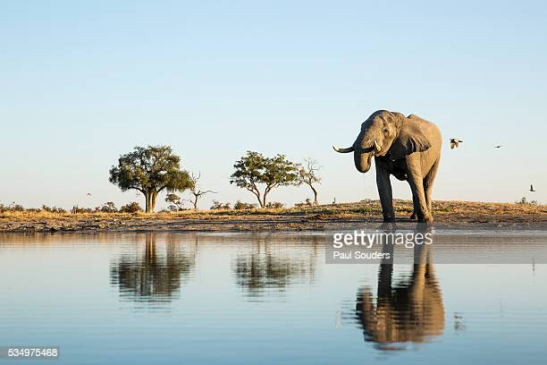 african elephant, chobe national park, botswana - okavango delta stock pictures, royalty-free photos & images