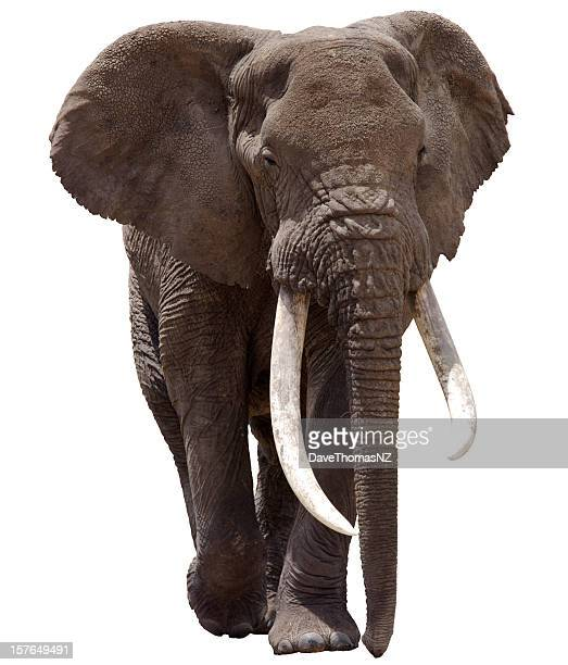 african elephant clipped - elephant stock pictures, royalty-free photos & images