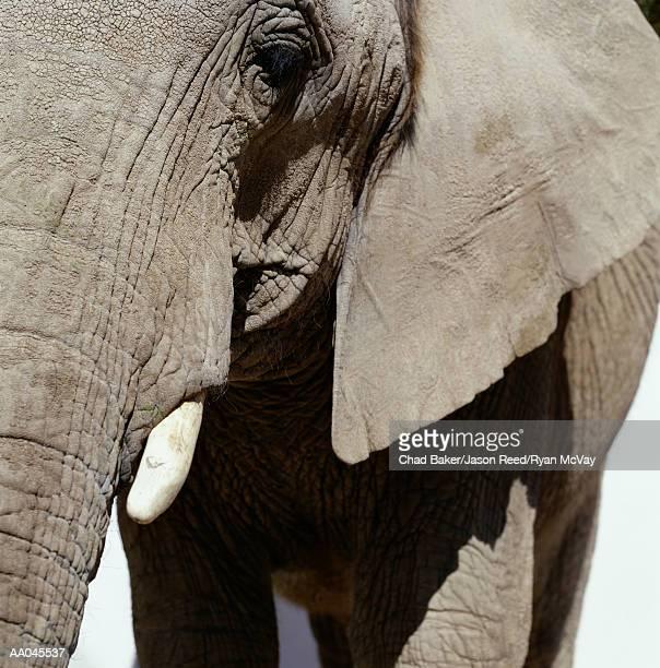 African elephant (Loxodonta africana), close-up