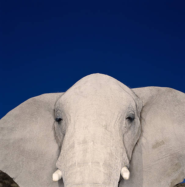 African Elephant (Loxodonta Africana) Close-up (brightly Lit) Wall Art