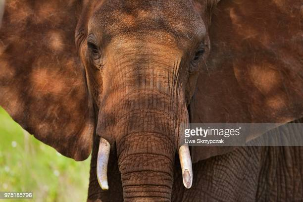 african elephant (loxodonta africana), coloured by red earth, tsavo west, kenya - elephant head stock-fotos und bilder