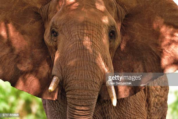 African Elephant (Loxodonta africana), coloured by red earth, Tsavo West, Kenya