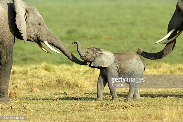 african elephant (loxodonta africana) cow and calf - animal nose stock pictures, royalty-free photos & images