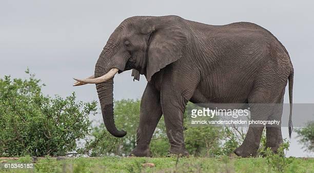 African elephant (Loxodonta Africana). Displaying drinking behaviour.