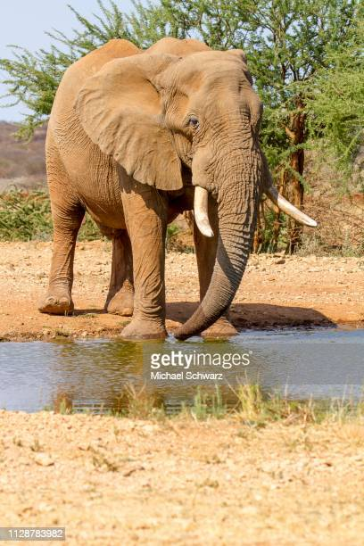 african elephant (loxodonta africana), drinking at the waterhole, erindi reserve, namibia - waterhole stock pictures, royalty-free photos & images