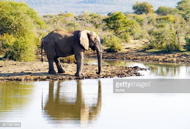 African elephant drinking at the waterhole in the Madikwe Game Reserve in South Africa