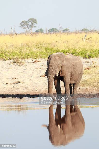 African elephant (Loxodonta africana) drinking from a pond