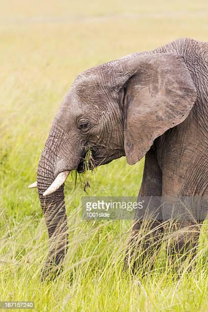 African Elephant - Eating