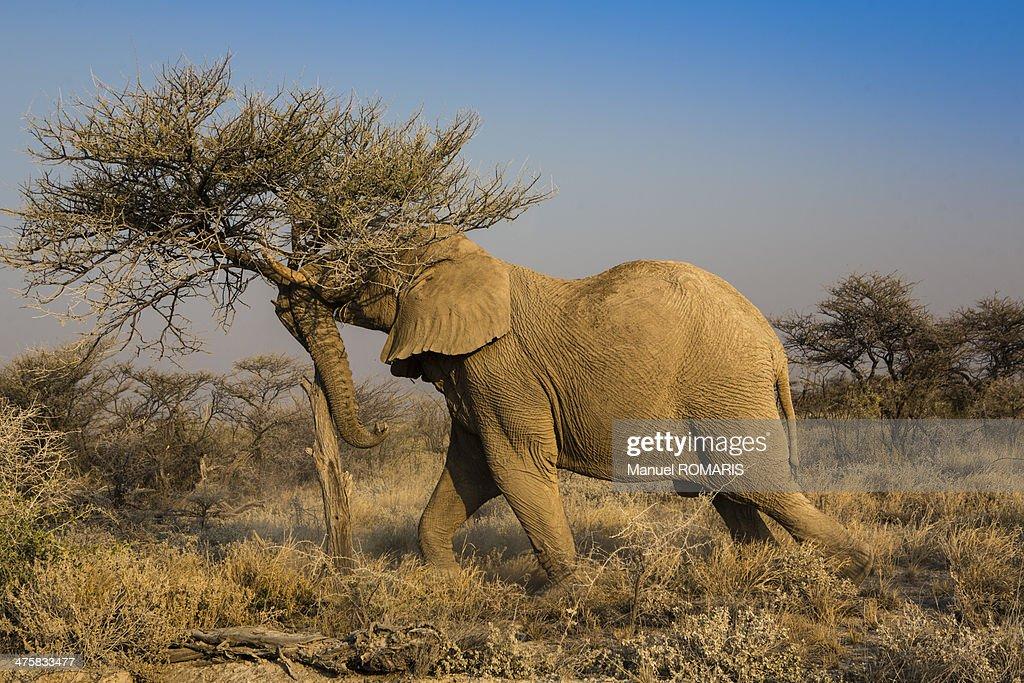 African elephant eating : Stock Photo