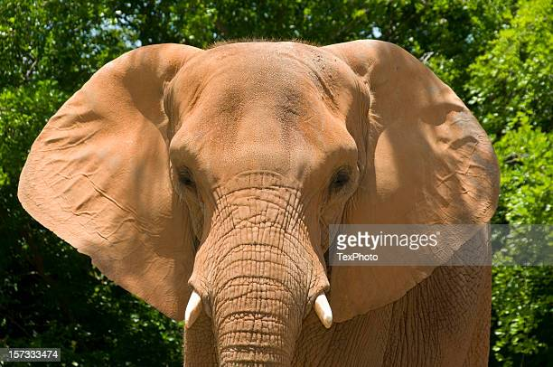 african elephant face - elephant face stock photos and pictures