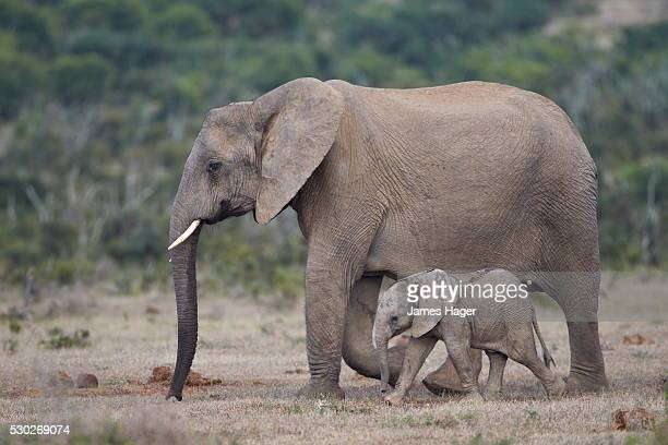 African elephant (Loxodonta africana) family, Addo Elephant National Park, South Africa, Africa