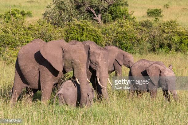 african elephant family grazing at wild - erbivoro foto e immagini stock