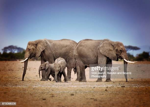 African Elephant Family in Amboseli, Kenya
