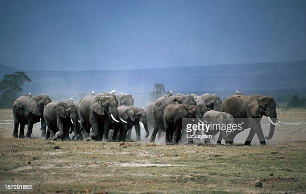 African Elephant family in Amboseli